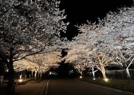 夜桜113706